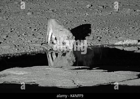 Ein männlicher Löwe Getränke aus der Verankerung Wasserloch in der Nacht in der Nähe von Halali Camp in den Etosha - Stockfoto