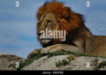 Lion's Head mit Fliegen Stockfoto