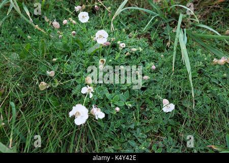 Meer Campion oder silene uniflora niedrig wachsenden White wildflower wächst auf einem Pembrokeshire Cliff noch - Stockfoto