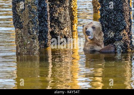 Grizzly Bear Fütterung bei Ebbe auf Muscheln die wachsen auf einem alten häufen in Glendale Cove, in schönen Knight - Stockfoto