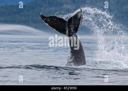 Buckelwal Spritzen mit dem Schwanz in der Queen Charlotte Strait aus nördlichen Vancouver Island, British Columbia, - Stockfoto