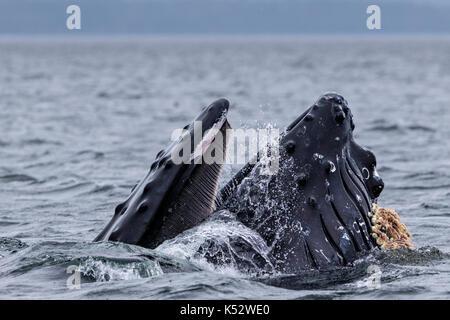 Humoback wal Ausfallschritt Fütterung mit Mund weit in Broughton Archipel Provincial Marine Park, Vancouver Island, - Stockfoto