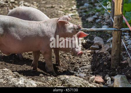 Kleine Hausschweine abschrecken, ihren Durst aus Rohr in einer Farm - Stockfoto