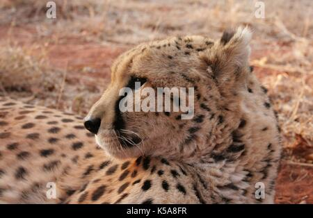 Cheetah Festlegung in der Limpopo Provinz, Südafrika - Stockfoto