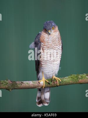 Sperber jagen kleine Vögel - Stockfoto
