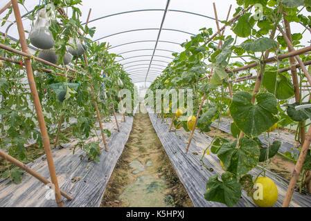 organische hydroponic gem se im gew chshaus stockfoto bild 168889765 alamy. Black Bedroom Furniture Sets. Home Design Ideas