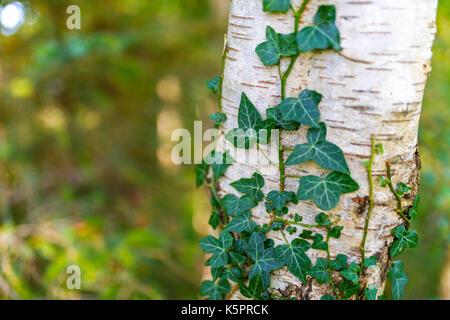 Gemeinsame Efeu, Hedera helix, silber Birke, Betula pendula, in Ravenglass, Cumbria im te Vereinigtes Königreich wächst Stockfoto