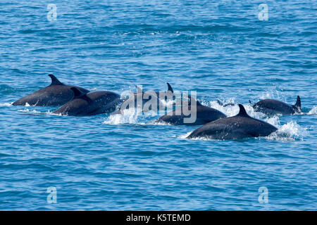 Pantropical pantropical Dolphin Delfin (stenella Attenuata) Familien auftauchen, mit mindestens zwei Dolphin Babys - Stockfoto