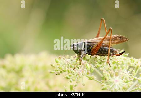 Ein roesel Bush - Kricket (Metrioptera roeselii) am Rande einer Blume thront. - Stockfoto