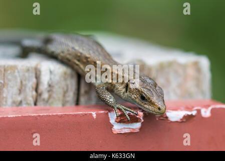 Gemeinsame Eidechse Erwachsener (Zootoca Vivipara), aka Lebendgebärenden Lizard oder Eurasische Eidechse in der Nähe von Wasser, im Herbst im südlichen England, UK. Lizard Nahaufnahme. Stockfoto