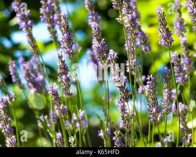 Glitzernde Wassertropfen auf Lavendel während der Morgen Sonne. - Stockfoto