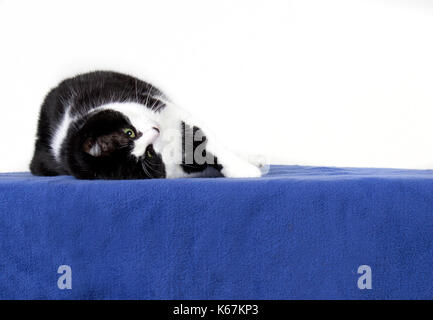 Eine faule süße Katze rollt über auf dem Rücken im Studio - Stockfoto