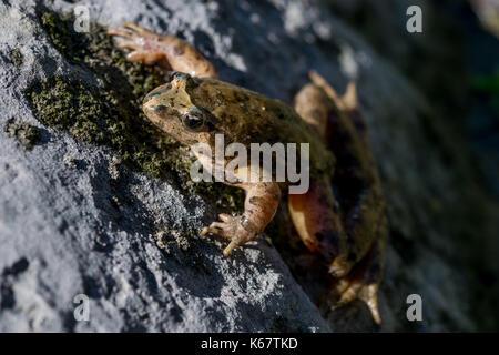 Eine Mediterrane lackiert Frosch, Discoglossus pictus, ruht auf einem Felsen in der Nähe von einem Teich in einem - Stockfoto
