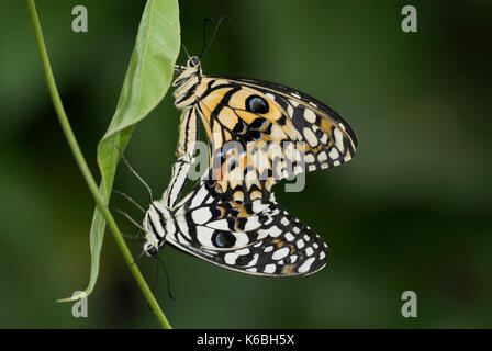 Kalk Schmetterlinge Schwalbenschwanz, Papilio demoleus, Paar Paarung, Schmetterling - Stockfoto