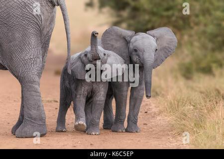 Baby Elefanten spielen in Kenia, Amboseli - Stockfoto