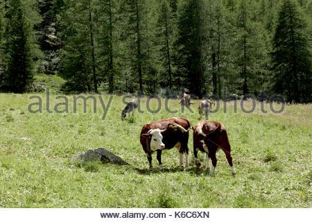 Zwei Kühe auf einer Bergwiese in den italienischen Alpen Val d'Aosta. - Stockfoto