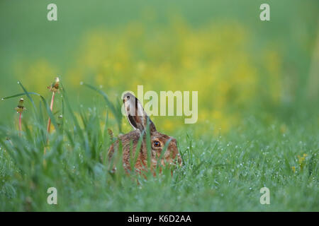 Europäische Feldhase (Lepus europaeus) sitzen in einem Tau nassen Feld. Europa - Stockfoto
