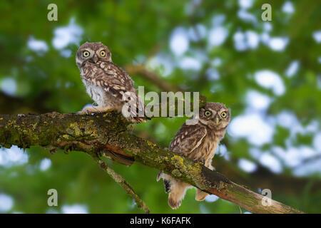 Zwei Steinkäuze (Athene noctua) flügge im Baum im Sommer gehockt - Stockfoto