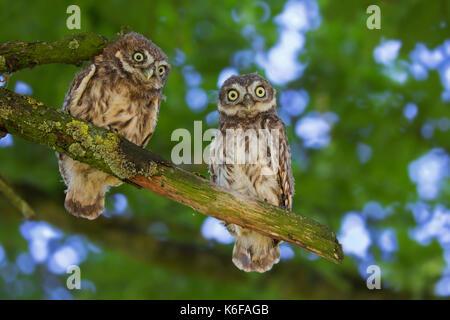 Zwei Steinkäuze (Athene noctua) flügge im Baum im Sommer gehockt