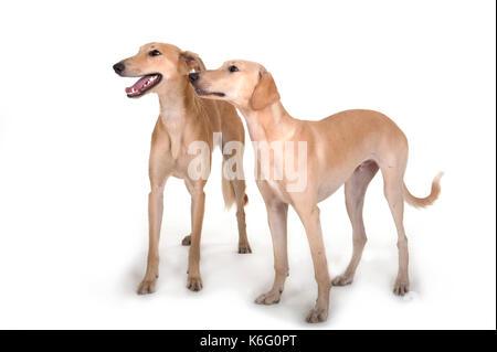 Paar Lurcher Hunde, zusammen stehen, Studio, weißer Hintergrund - Stockfoto