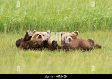 Jährling Cubs liegen Stockfoto
