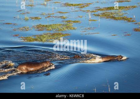 Flusspferd (Hippopotamus amphibius), zwei Erwachsene mit einem Kalb in ein Süßwasser-Sumpf, Luftaufnahme, Okavango - Stockfoto