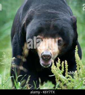 Sun Bear, Helarctos malayanus, Südostasien, gefangen. Seltene Arten Conservation Centre, Kent GROSSBRITANNIEN. Einer - Stockfoto