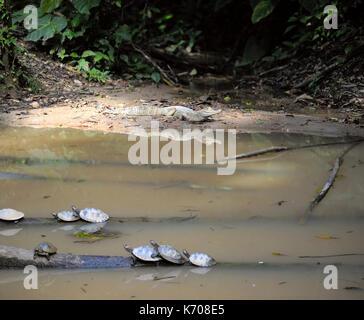 Wild Kaimane und Schildkröten im ecuadorianischen Amazonasgebiet, Misahualli - Stockfoto