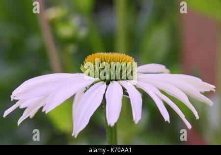 Echinacea purpurea 'White Swan, coneflower 'White Swan' blühen in einem Englischen Garten Grenze im Sommer