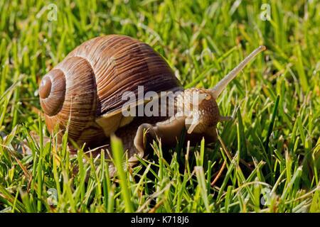 Schnecke mit schönen Shell und vorstehende Antennen und Kopf kriechen auf dem Rasen. Sommer in Polen. Schließen, - Stockfoto