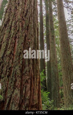 Redwood Grove. - Stockfoto