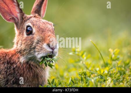 Junge östlichen Cottontail Rabbit (Sylvilagus Floridanus) closeup Munches auf frischen Grüns - Stockfoto