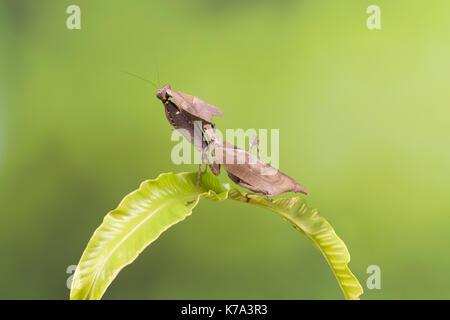 Nach Exemplar einer Ghost Mantis sitzt auf einem grünen Blatt - Stockfoto