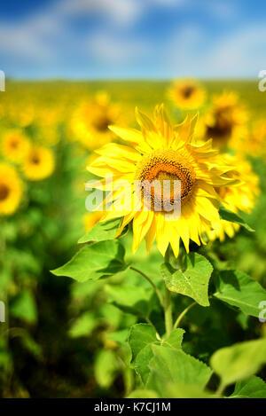 Feld mit wild wachsenden gelben Sonnenblumen in der Natur in vertikale Komposition mit blauem Himmel und weißen - Stockfoto