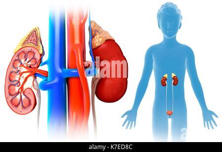 Abbildung: Niere Anatomie eines Kindes Stockfoto, Bild: 159513750 ...