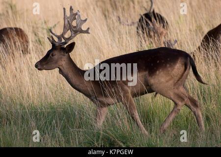 Ungewöhnlich dunklen braunen Markierungen auf einem jungen Damwild Hirsch. Wandern in langen, trockenen gelben Gras. - Stockfoto