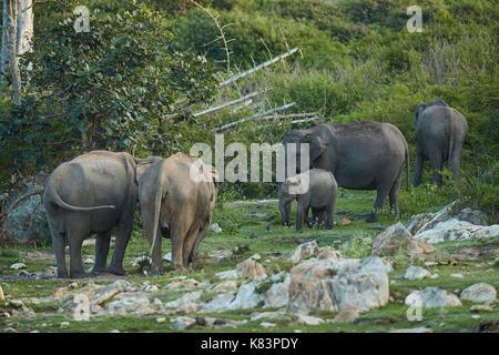 Viele wilde Elefanten weiden grünen Gras im Wald Wiese. elefantenfamilie in Abenteuer Safari - Stockfoto