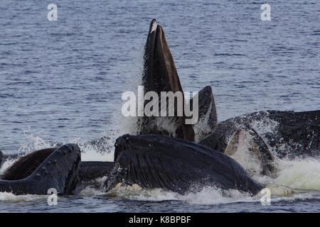 Buckelwale arbeiten zusammen in der kooperativen bubble Netz zu essen Hering in Southeast Alaska, USA - Stockfoto