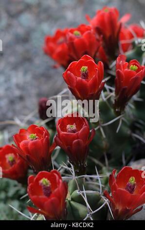 kaktus rote bl te igel stockfoto bild 48237942 alamy. Black Bedroom Furniture Sets. Home Design Ideas