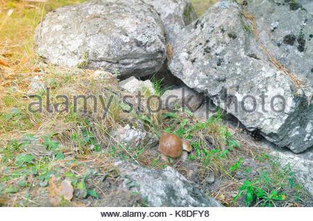 Zwei essbare Pilze Boletus edulis, auf den Boden des Waldes. Die ersten Tage des Herbstes Wetter. Guadarrama Gebirges - Stockfoto