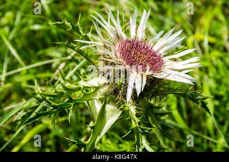 Blühende Muster einer Distel Pflanze, hier eine silberne Distel, Carlina acaulis. - Stockfoto