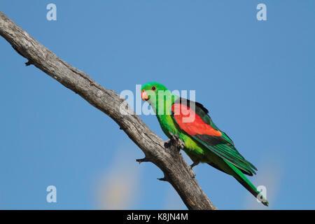 Eine rote winged Parrot, Aprosmictus erythropterus, auf einem Zweig mit blauem Himmel Hintergrund und Kopieren in - Stockfoto