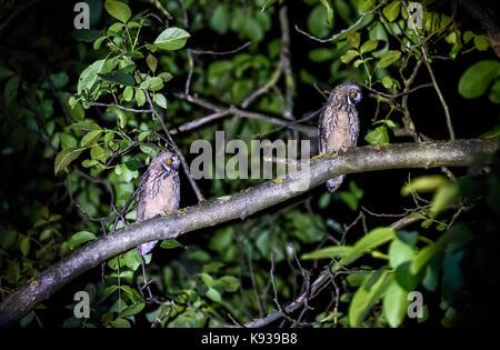 Zwei kurze oder lange eared Eulen sitzen auf einem Ast. Asio otus oder Asio flammeus mit gelben Augen sitzen auf - Stockfoto