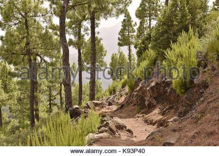 Ruta de la Cresteria Wanderweg durch den Pinienwald von Caldera de Taburiente National Park. La Palma Kanarische - Stockfoto