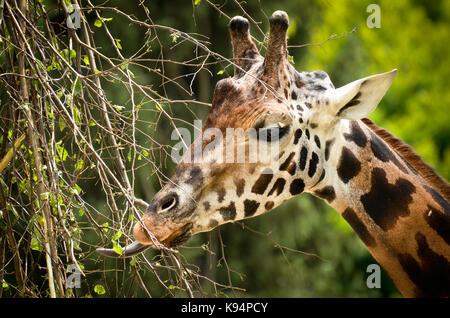Eine Giraffe essen Blätter - Stockfoto
