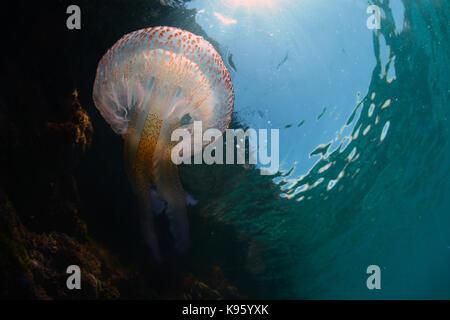 Unterwasser Foto eines mauve Stinger Quallen am Strand von Cala Blanca, Menorca
