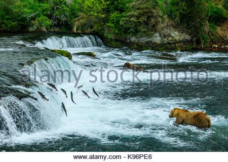 Braunbären, Ursus arctos, Angeln für sockeye Lachse unter Brooks Falls. - Stockfoto