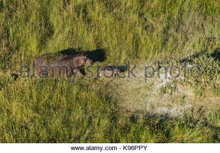 Eine Luftaufnahme eines Nilpferds, Hippopotamus amphibius, mit ihr Kalb zu Fuß in das Okavango Delta Auen. - Stockfoto