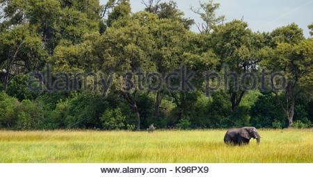 Ein Elefant Spaziergänge über die saftigen Okavango Delta. - Stockfoto