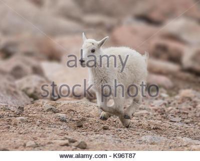 Ein 1 Monate altes Kind Ziege läuft zu seiner Mutter. - Stockfoto